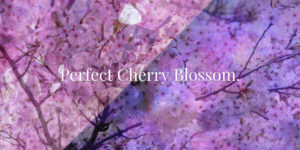Perfect Cherry Blossom.