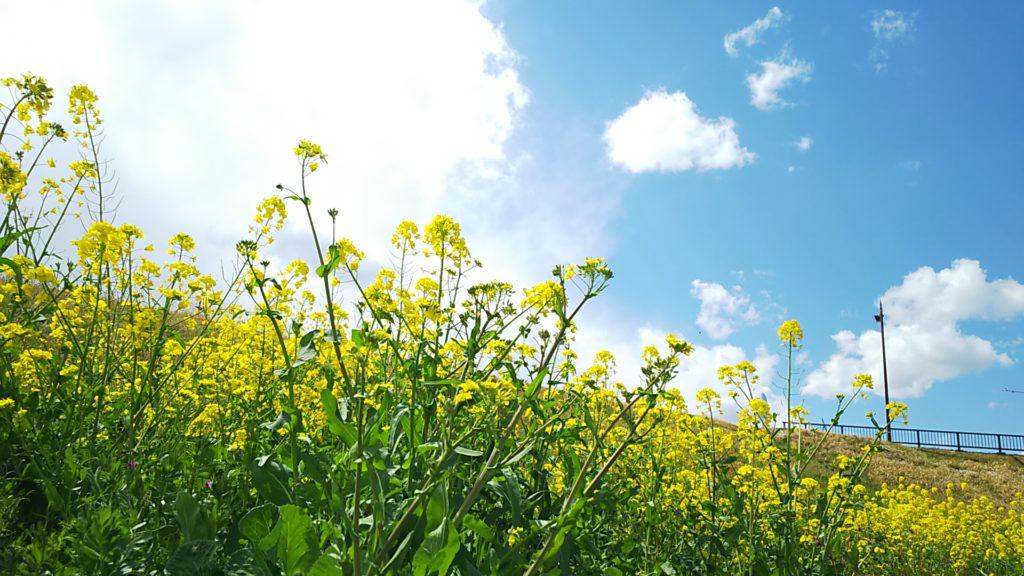 前面に菜の花、土手を挟んで雲と青空。とても春っぽい。