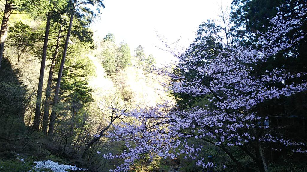 榛名神社 桜