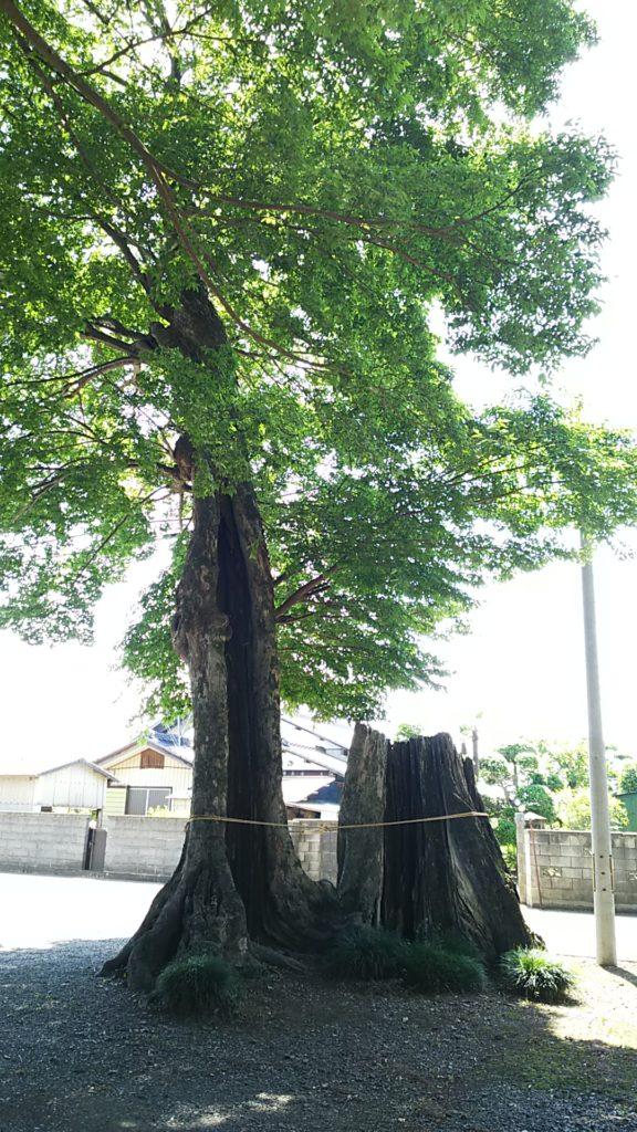 根渡神社 大きな木の株。昔から木が茂っていたことが窺える