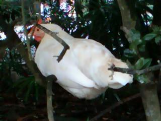 伊勢神宮内宮の鶏(2013年10月筆者撮影)