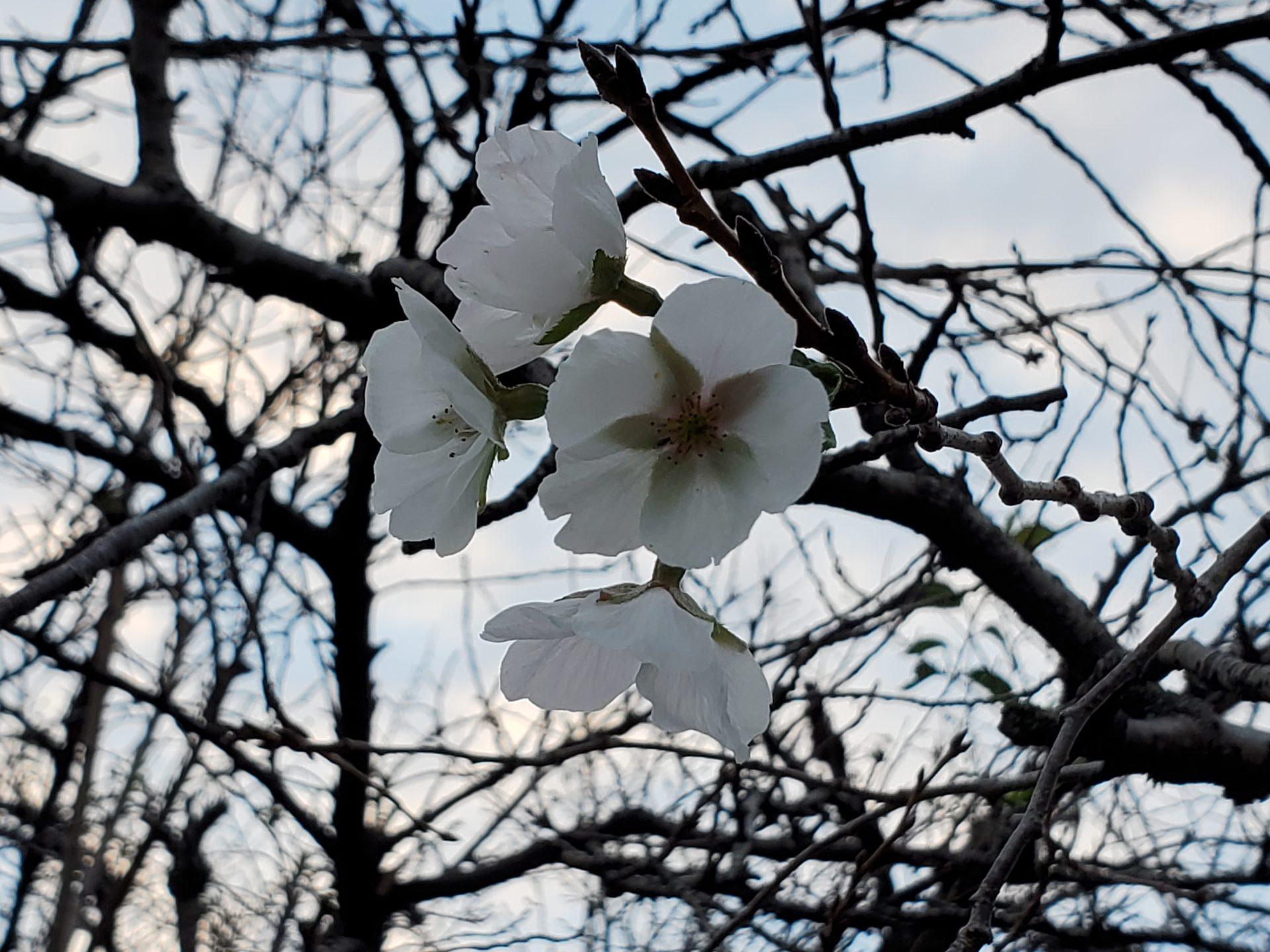 狂い咲きの桜 (2020/10/11)