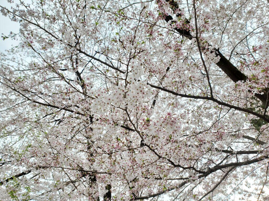妙見寺の桜