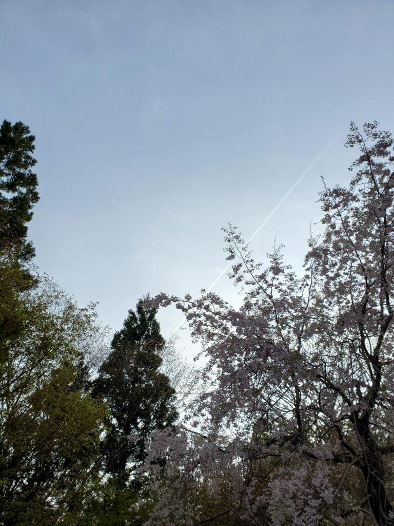 杉並木公園入口、枝垂れ桜と飛行機雲